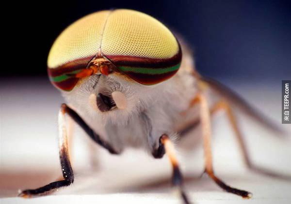 天啊,這隻蒼蠅看起來好像帶頭盔呢,好可愛!
