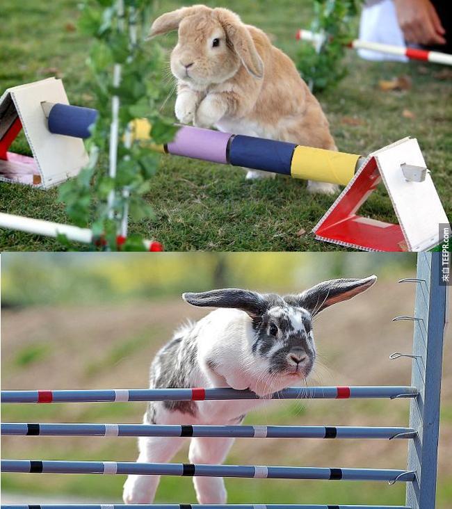 """1. 瑞典有一個兔子跳躍秀叫做 """"Kaninhoppning""""。"""