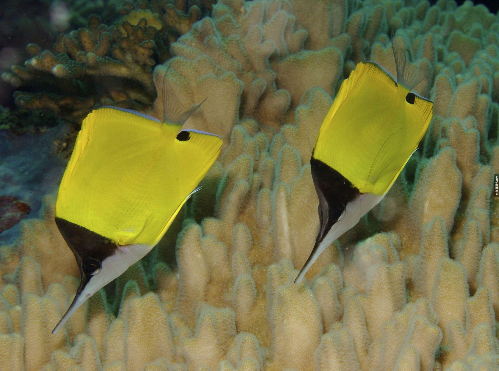 14. 蝴蝶魚也是一夫一妻制。如果互相走丟,它們還會浮到水面去尋找對方呢。