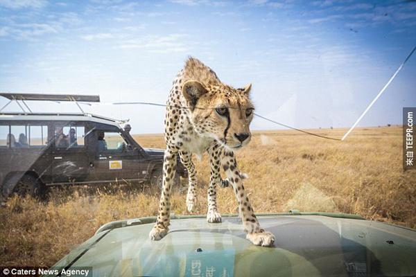 這就是讓你的心臟停止的那一瞬間。你一定要看看這隻獵豹接下來做的事情。