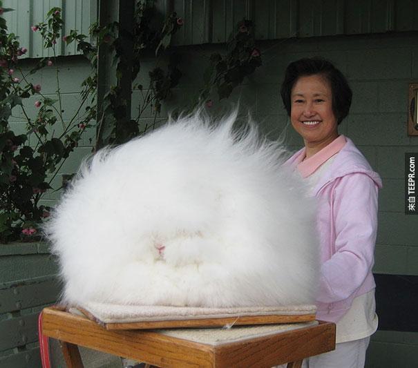 安哥拉兔子