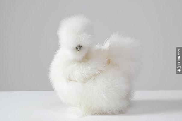 白烏骨雞(矮腳雞)母雞