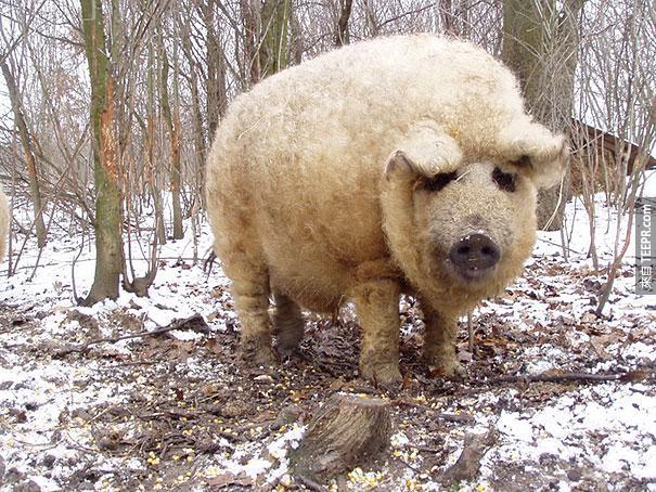 匈牙利油花豬