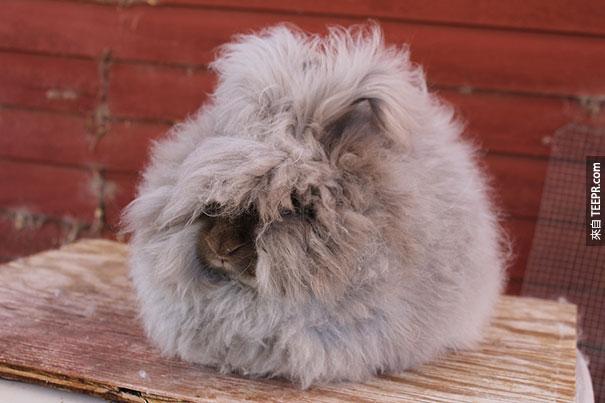 另一種安哥拉兔子
