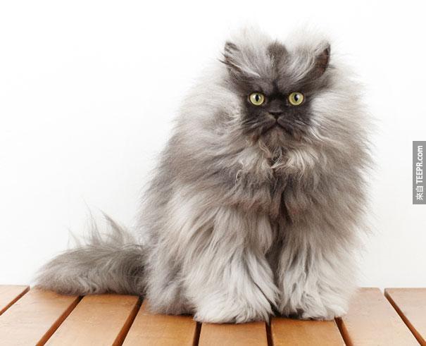 喜馬拉雅 - 波斯跨品種貓
