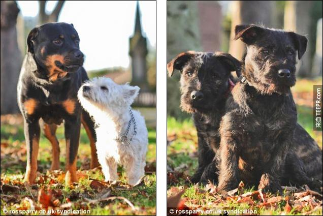 這隻小㹴犬把一隻大羅威那犬的肚子搞大了。相信我,你一定會想要看看他們生出來的小Baby。