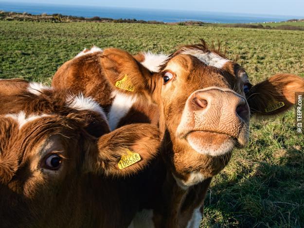 """20. 牛都有自己最好的朋友,而且他們會長期跟對方一起""""混""""。"""