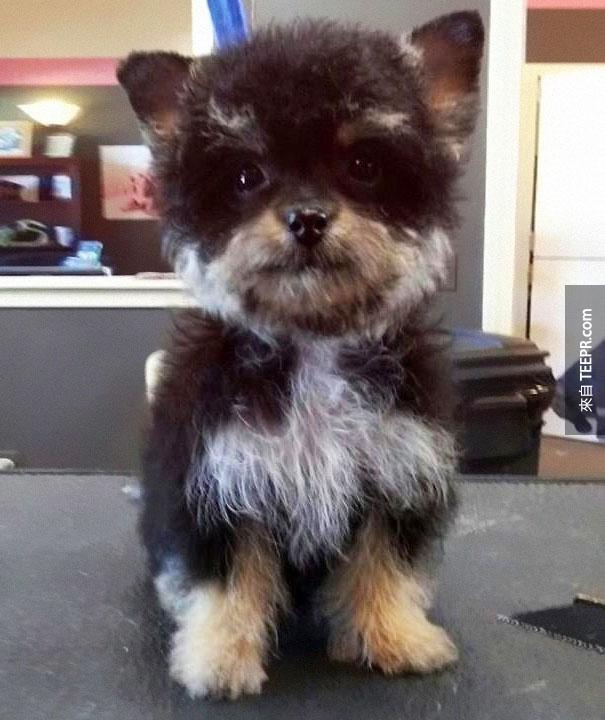 20隻長相最奇特的混種狗狗。哈士奇混上拉布拉多真的可愛到讓人受不了!