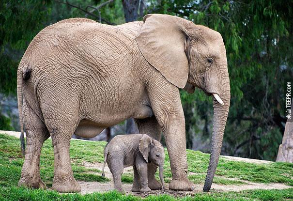 30隻動物跟他們超可愛的縮小版。可愛到你睡不著覺!