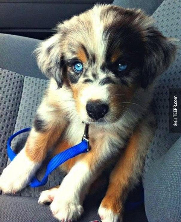 西伯利亚哈斯奇 + 黄金猎犬