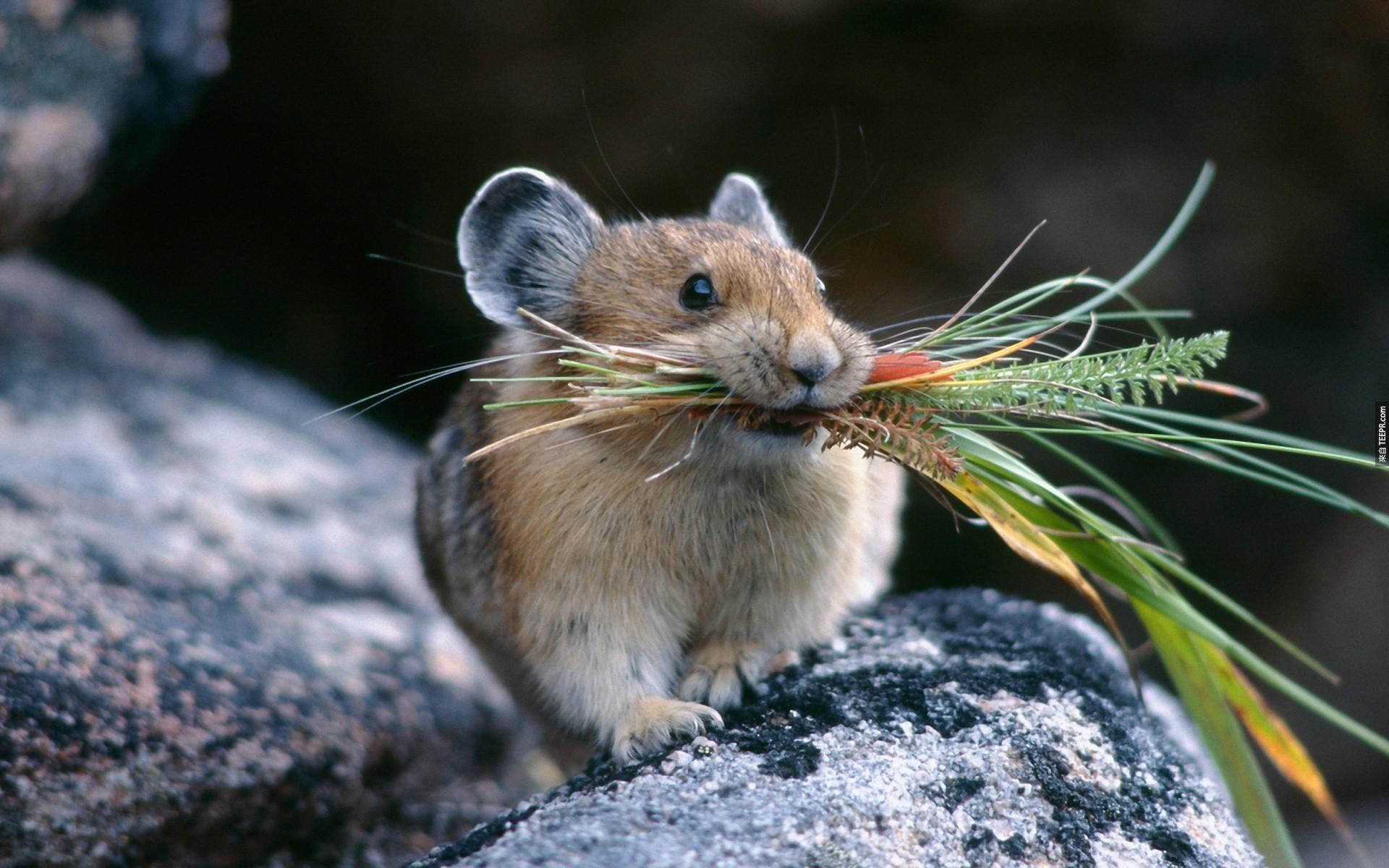 40. 鼠兔 (Pikas) 會為了過冬把很多的甘草儲存起來。