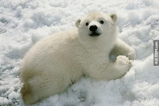 19. 當北極熊要求要什麼東西的時候 (像是食物),他們會用鼻子磨在對方鼻子上。有禮貌的比擊熊在他們的社群裡面是最受歡迎的。