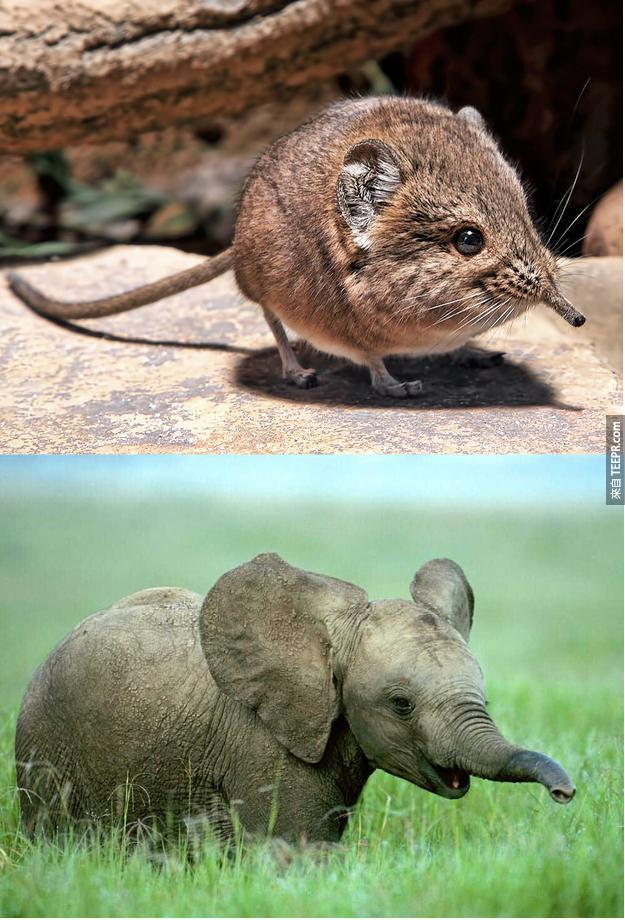 9. 象鼩的基因近親其實真的是大象,而不是鼩。