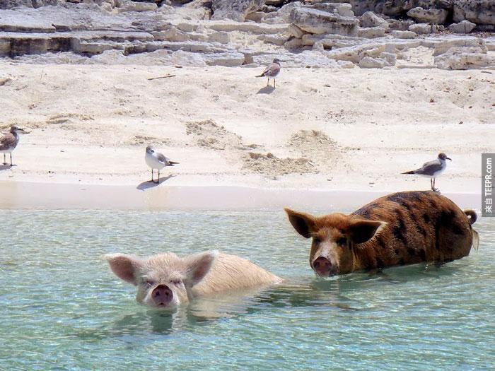 另一個謠言是這些豬是一個遇難的船裡面的生存者。另一個謠言說這些豬是從另一個島上逃過來的。