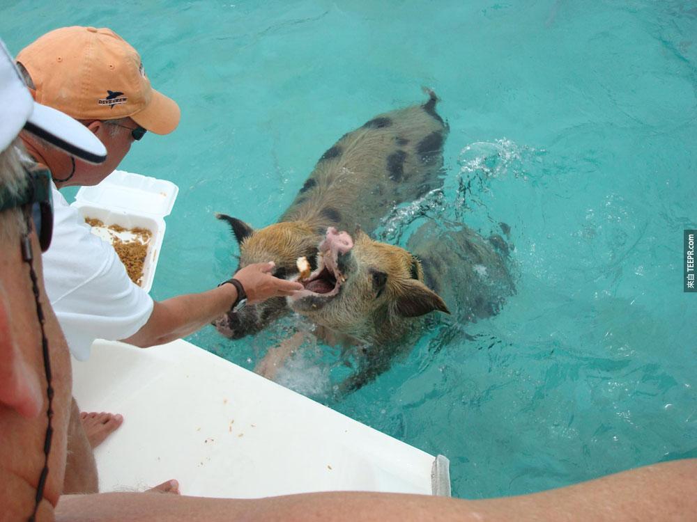 不管怎麼樣,這些小豬仔現在都開心的住在這個島上,讓遊客喂得飽飽的!