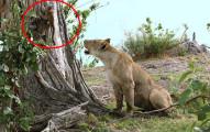 殘暴的母獅子看到落單的狒狒寶寶,竟然做出了讓人大吃驚的事情。