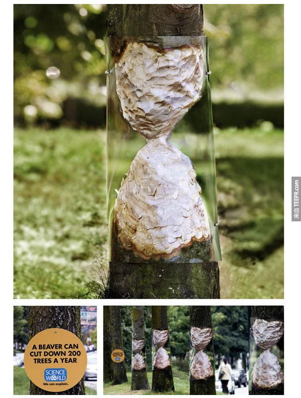 """科學世界——海狸每年可以""""砍倒""""200棵樹。"""