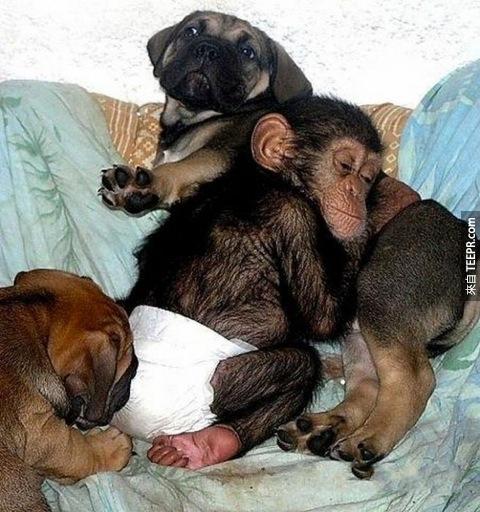 當這隻黑猩猩寶寶遇到了這隻鬥牛獒犬,奇蹟發生了。我從來沒有想到動物會做這樣的事情...