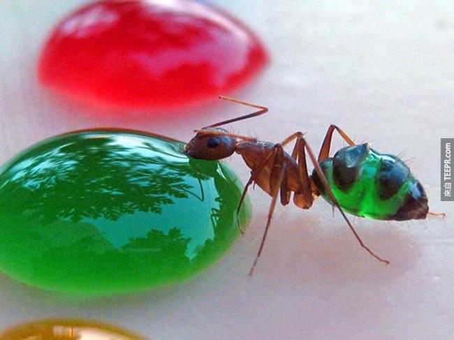這真的不是PS。你有沒有想過螞蟻喝有顏色的糖水的時候會怎麼樣?超驚奇的!