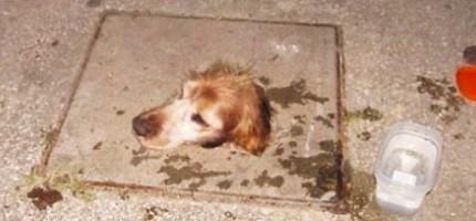 狗狗被卡在水溝蓋裡