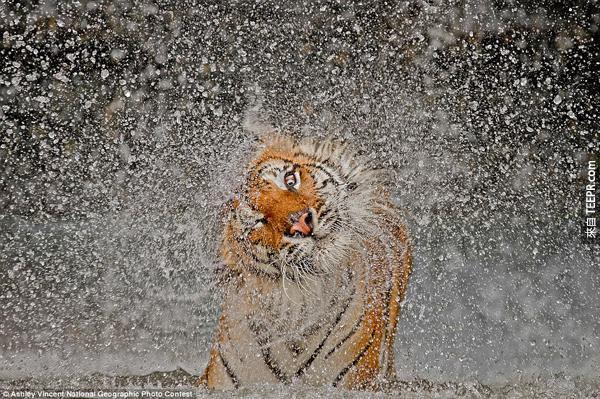 19.) 誰說老虎很恐怖的?