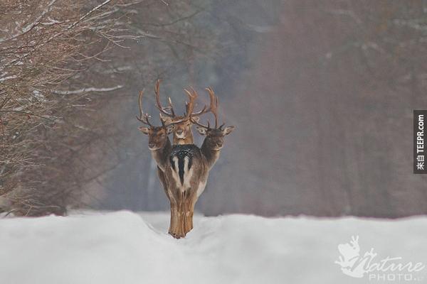 8.) 三頭鹿!