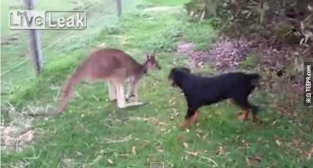 袋鼠遇到狗後...會打架嗎?還是...?