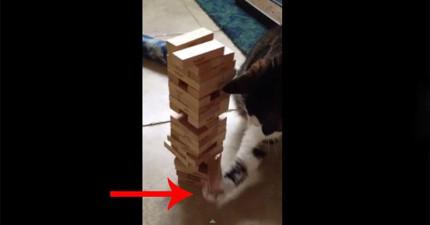 這隻貓咪竟然會玩疊疊樂!小心翼翼的模樣太可愛了,但當他輸的時候...