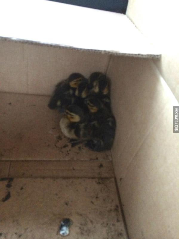 I quickly discovered I had nothing in my car to transport ducks (won't make that mistake again!). An employee from the golf course just down the street got me a box. Here they are cuddled in the box after I collected them.