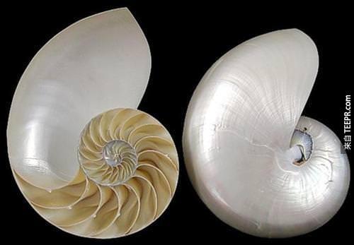 Nautilus%20shell