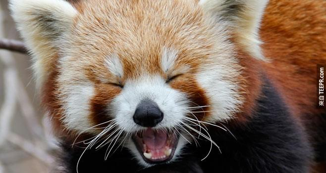 Red%20pandas%20tweet.%20No%2C%20not%20in%20140%20characters%20like%20most%20of%20us.%20The%20sound%20that%20they%20make%20is%20actually%20called%20%u201Ctwittering.%u201D