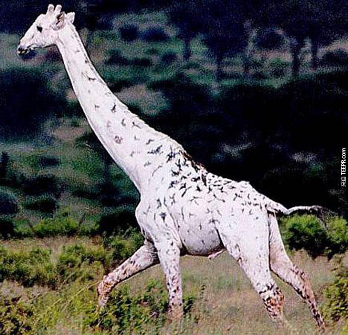 這25隻有白化病的動物雖然長得跟同類很不一樣,但是卻非常漂亮。特別是獅子!