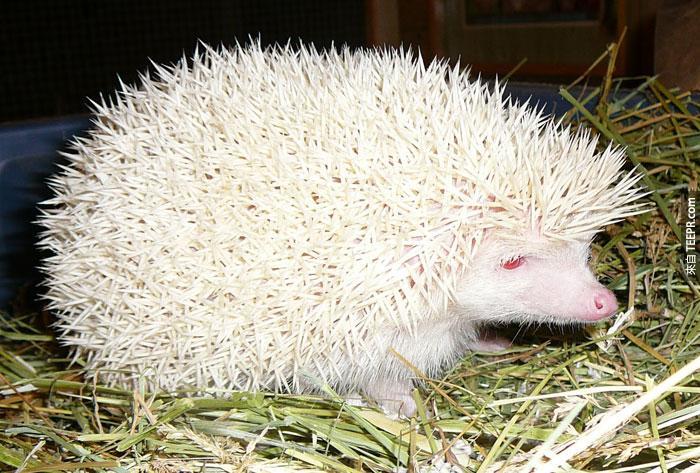 22) Hedgehog