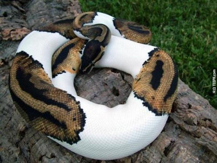 24) 球蟒蛇 (有斑紋的)