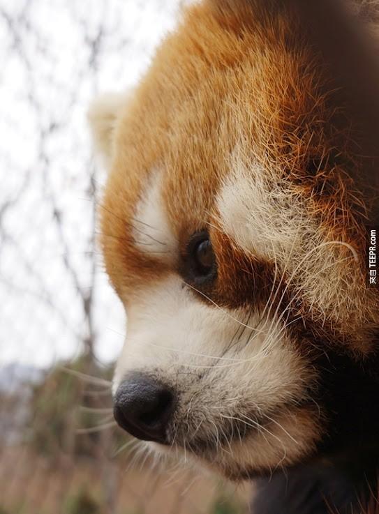 紅熊貓一詞是原自於尼泊爾語「Nigalya poonya」,意思是「吃竹子的熊」。