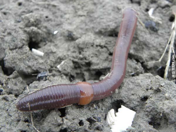 10.) 把蚯蚓切成一半並不會產生兩隻蚯蚓,只有留住頭的那一邊會長出新的尾巴。