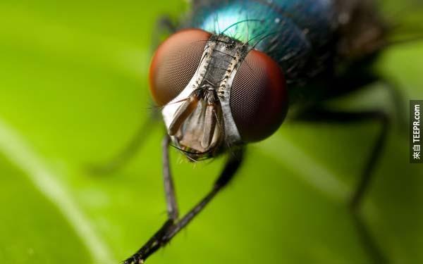 12.) 蒼蠅的壽命不只有24小時,他們大致可以活上20-30天。(24個小時之說可能是因為在24之內就會被人類打死?)