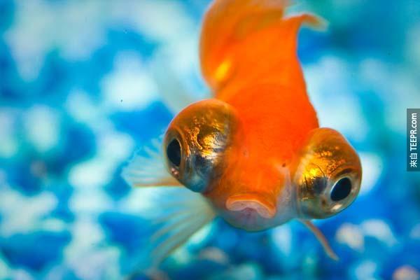 3.) 金魚不是只有3秒的記憶。他們其實可以維持幾個月的記憶。