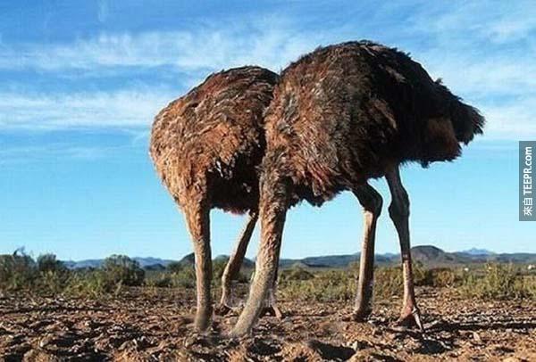 4.) 鴕鳥並不會把他的頭藏在沙裡。這個傳言是從老普林尼的第一本百科全書開始的。