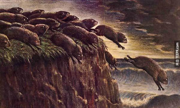 7.) 旅鼠不會集體自殺。1959年,迪士尼電影「白色曠野」是這個錯誤知識的起因。