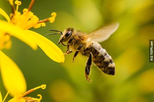 8.) 根據科學的計算,蜜蜂應該是不能飛的。雖然這不是一個錯誤的資訊,但是這也代表著我們不能完全依賴科學。