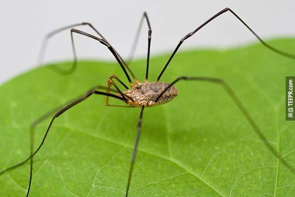 9.) 長腳大叔(盲蜘蛛俗稱)並不是世界上最毒的蜘蛛,他們會咬人類,但也只會造成輕微的不適。