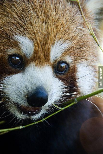 2013年,紅熊貓被愛爾蘭動物園票選為最受歡迎動物。