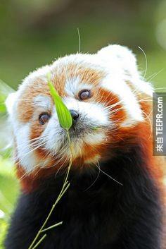 很多人覺得熊貓是最可愛的動物,但那是因為你還沒有看過這些小傢伙。可愛爆表!