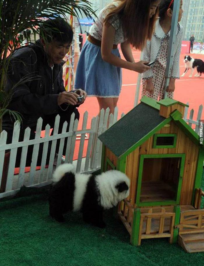 聽說現在在中國可以養這種熊貓。但是近看的時候...這種品種怎麼看起來有點不一樣?