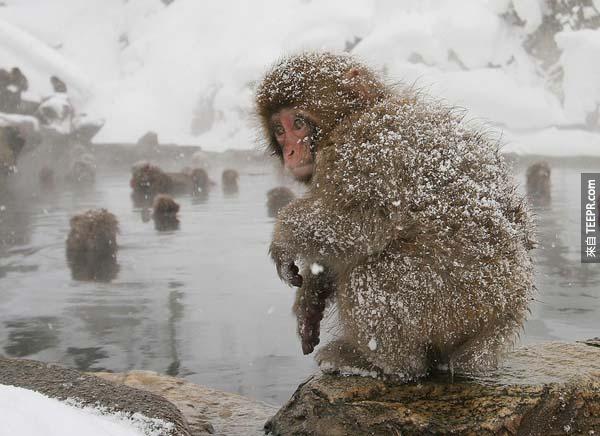 18.) 在一場降雪後,日本猴子一同捲縮在溫泉池附近。