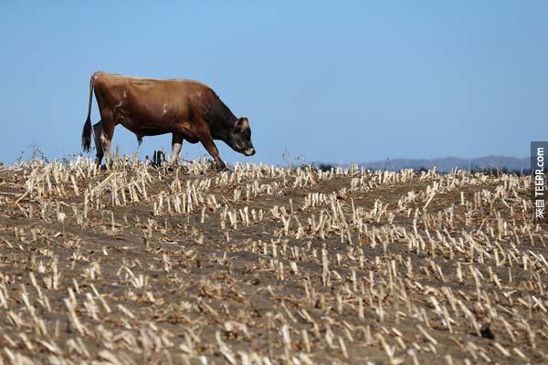 3.)紐西蘭的牛群在一面極為乾燥的草原上尋找食物。