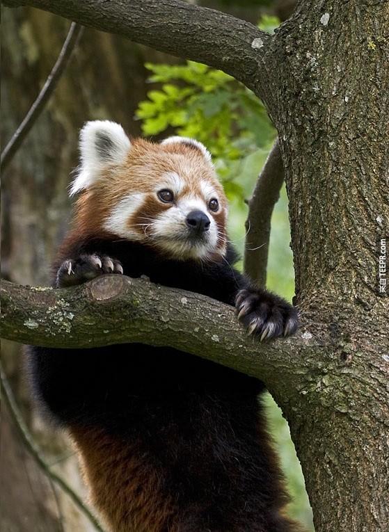 如果透過人工飼養紅熊貓的話,紅熊貓大概可以活到14歲,若是在野外則約是7-8歲。