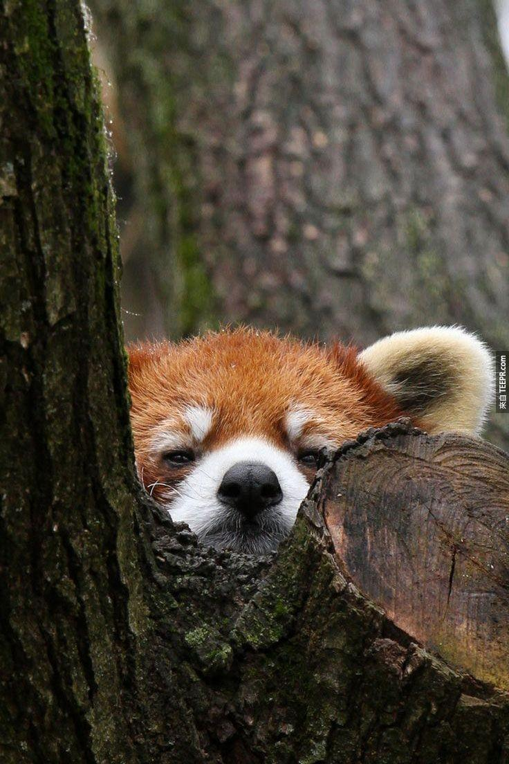 紅熊貓的毛色讓他們成為森林中的躲藏高手,紅橘色的毛色與樹上紅褐色的癬苔融合在一塊,是不是很難發現呢?真的是一隻「躲貓貓」!