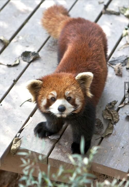 紅熊貓的紅色毛髮讓他們也被稱作「火狐」。火狐瀏覽器就是以他們為命名的喔。
